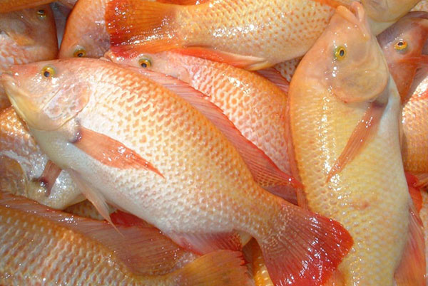 Tilapia fish by ccres aquaponics ccres for Is tilapia a real fish